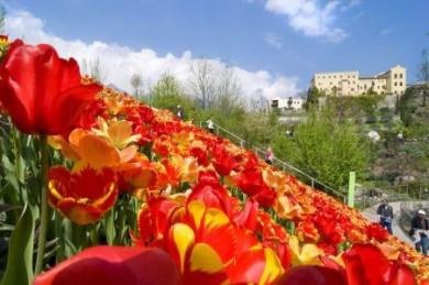 Zu den Frühjahrsboten in den Gärten von Schloss Trauttmansdorff zählen die vielen bunten Tulpen