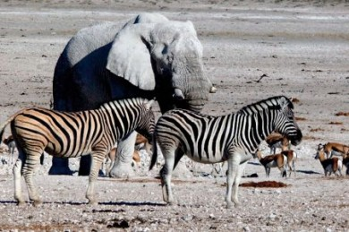 Zebra und Elefant, Namibia